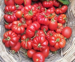 pomodori_fiorentini1